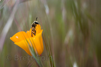 Wasp (sp.) in a California poppy along the Willamette River, Eugene, Oregon