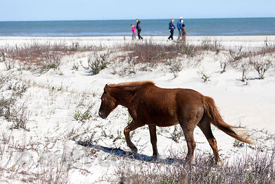 Wild horse (Equus ferus caballus) on the  beach, Assateague Island, Maryland