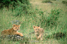 Two tiger cubs, Kenya, Africa