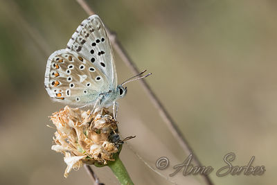 Lysandra sp. (Polyommatus bellargus, coridon or hispana) photos