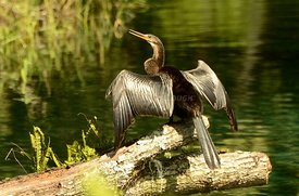 Cormorant on log