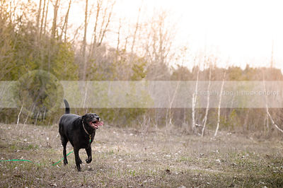 crazy large black dog running in natural setting