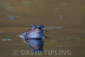Common Frog Rana temporaria in pond March Norfolk