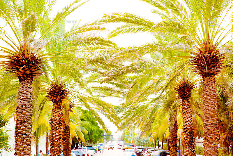 PALM TREE LINED STREET MIAMI BEACH FLORIDA
