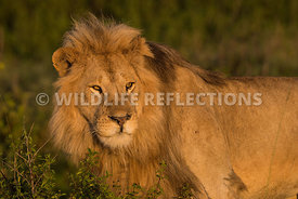 male_lion_profile_ndutu_02202015-6-Edit