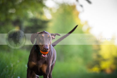 brown and tan doberman dog fetching ball in park