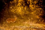 Antilope_steenbok_-_Copy