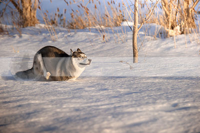 silver and white husky running wild in deep winter snow