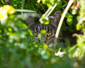 Green-eyed Tabby Cat Hiding Behind Leaves