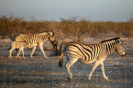 Zebras and cub