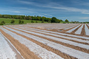 Newly planted field of Maize under bio-degradeable plastic sheeting to help aid early ggrowth. Cumbria, UK.