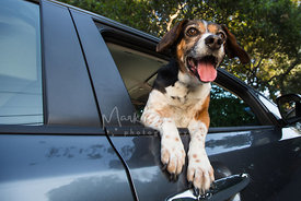 Beagle smiling in car window with excited look on face
