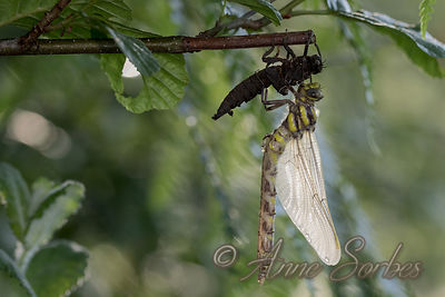 Golden-ringed dragonfly (Cordulegaster boltonii) photos