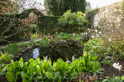 Small pond surrounded by Lysichiton americanus, irises, marsh marigold, Caltha palustris and shrubs mahonia, acer and Magnolia stellata. Summerdale House, Lupton, Cumbria, UK