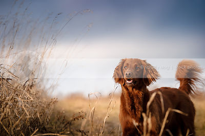 alert red setter cross dog standing in open field under stormy sky