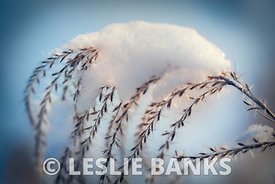 Grass plant in snow