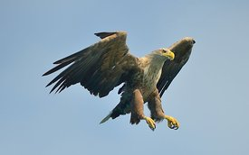 Havørn, white tailed eagle