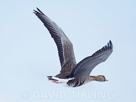 Greater White-fronted Goose Anser albifrons in snow Salthouse North Norfolk February