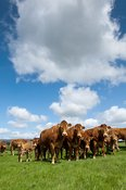 Herd of Limousin beef cattle on Lancashire hill farm.