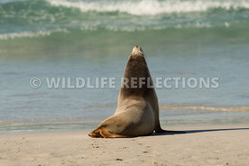 sea_lion_australian_wave_edge-3