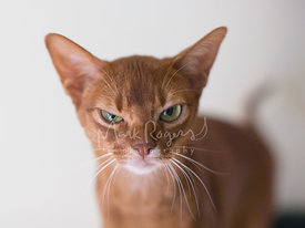 Close-up of Abyssinian Cat with Grumpy Expression