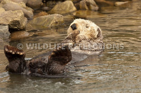 California Sea Otter Relaxation 1