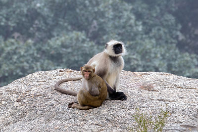 In an unusual scenario a juvenile red macaque monkey (probably orhpaned) is adopted by a troop of langur monkeys, Ajaypal, Rajasthan, India