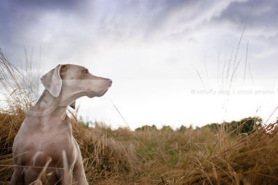weimaraner sitting in tall dried grasses under stormy sky
