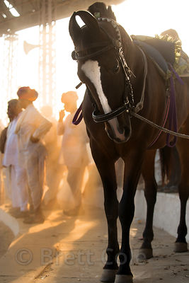 Horse at the Pushkar Camel Fair, Pushkar, Rajasthan, India