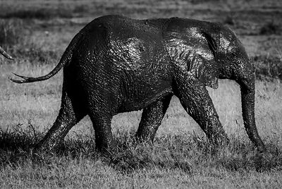 2818-Muddy_elephant_running_in_the_savannah_Laurent_Baheux