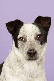 Black and White Cattle Dog Mix Close-Up Against Lavender Background
