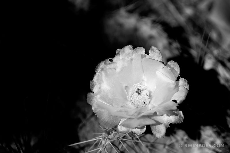 PRICKLY PEAR CACTUS FLOWER BLOOMING DESERT MESA VERDE NATIONAL PARK COLORADO BLACK AND WHITE