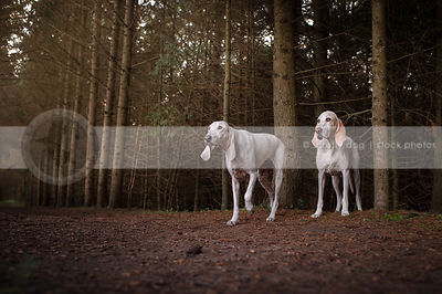 two white hunting hounds in pine forest