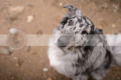 grey australian shepherd dog looking  up from natural setting
