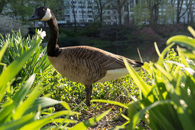 Canada goose at The Pond at Central Park in New York.
