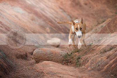 tan and white dog running jumping in red clay valley with rocks