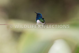 white_necked_jacobin_wire-1