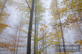 Beech forest in autumn colours in fog (lat. fagus sylvatica) - Europe, Germany, Baden-Württemberg, Stuttgart, Esslingen, Reussenstein - digital