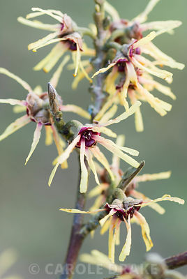Hamamelis x intermedia 'Cyrille'. The Sir Harold Hillier Gardens/Hampshire County Council, Romsey, Hants, UK