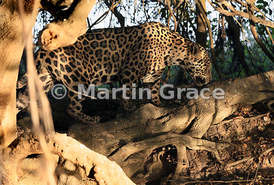 Male Jaguar (Panthera onca) known as Marley emerges into dappled sunlight from behind a riverbank tree, River Cuiabá, Northern Pantanal, Mato Grosso, Brazil