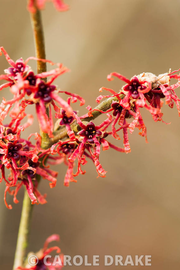 Hamamelis 'Danny'.Sir Harold Hillier Gardens/Hampshire County Council, Romsey, Hants, UK