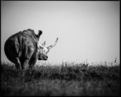 47280-Rhino_looking_at_the_horizon_Kenya_2013_Laurent_Baheux
