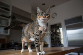 Brown Tabby Cat with White Paws on Kitchen Counter