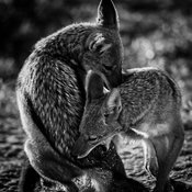 1441-Two_Jackals_Botswana_2010_Laurent_Baheux