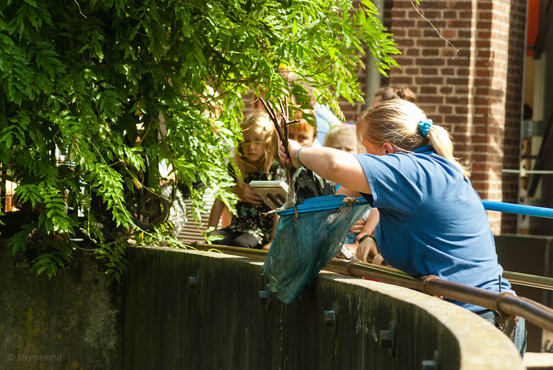 Zookeeper scooping a wounded heron with a fishnet out of the water of the lions enclosure