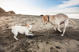 Two Dogs Digging Together on a Sandy Beach