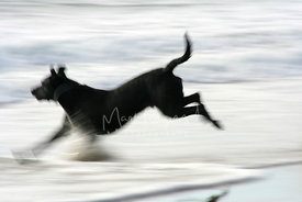 Black Dog Running in Profile in Surf