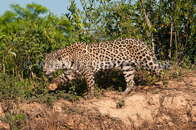 jaguar_riverbank_stroll-17