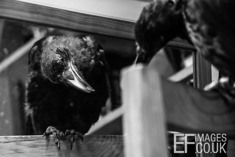 Penney the Crow Gives Herself A Long, Hard Look in the Mirror