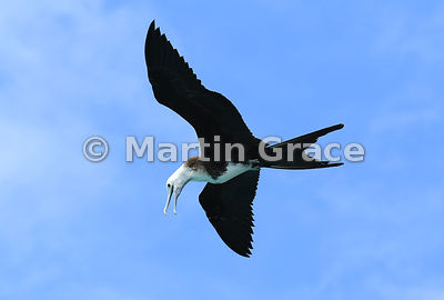 Magnificent Frigatebird juvenile (Fregata magnificens) in flight, Punta Pitt, San Cristobal, Galapagos Islands
